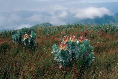 b2ap3_thumbnail_FIELD-GUIDE-TO-FYNBOS-PROTEA.jpg